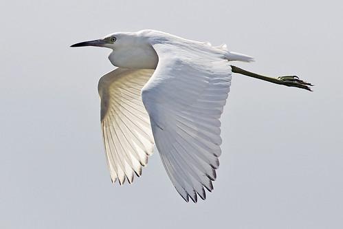 ngc egrettacaerulea peaislandnationalwildliferefuge juvenilelittleblueheron lbhe egrcae photographybydavewendelken outerbanksbirding