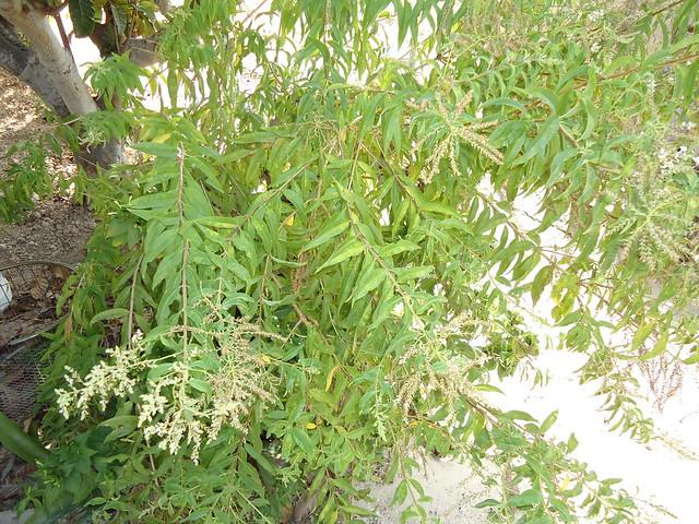 Tratamientos y productos naturales hierba luisa cerd n o for Salsa de hierba luisa