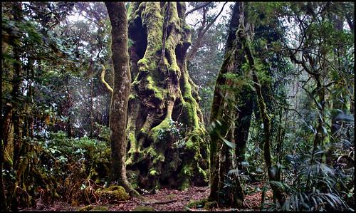 rainforest australia np springbrook borderranges queenslans thebestofalllookout articbeech