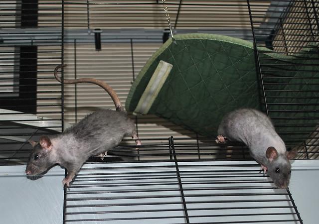 naked rats 3
