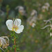 Small photo of rosaceae