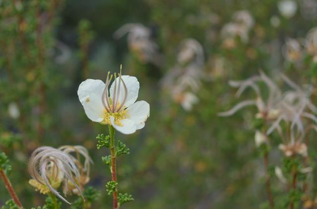 Rosaceae