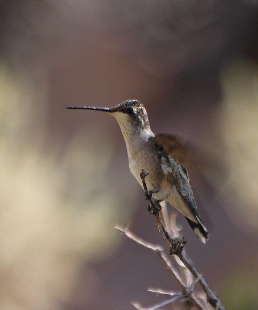 lady black-chinned