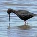 Black Stilt by NZ Nature by Glenda Rees