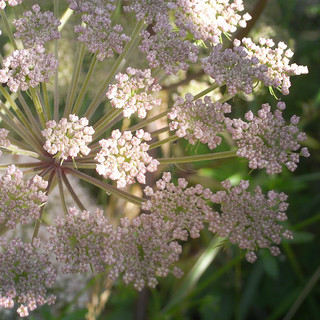 wild angelica detail