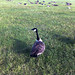 Small photo of Haughty goose