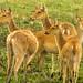 Barasingha, Swamp Deer (Bret Charman)
