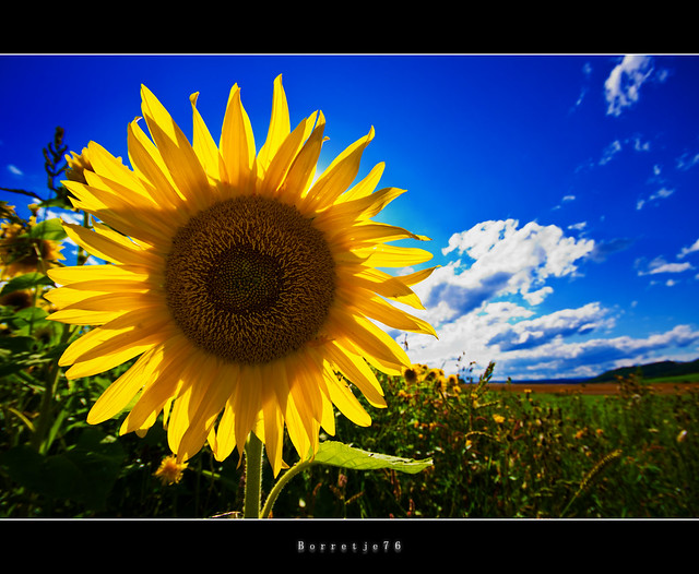 Sunflower @ Holiday     [explored]