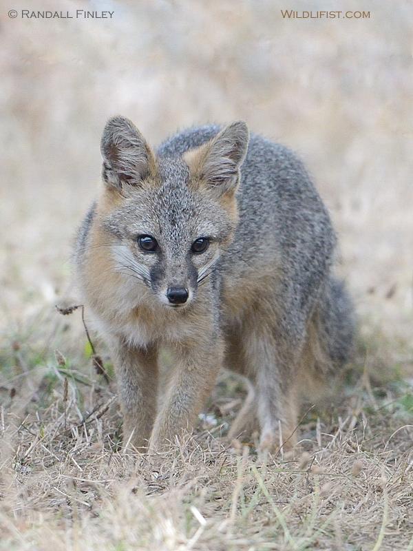 Gray Fox, Marin Headlands