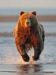 Alaska Brown Bear 2
