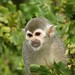 Small photo of Squirrel Monkey (Simia sciureus), Amazona Zoo