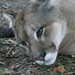 Small photo of Puma (Puma concolor), Amazona Zoo