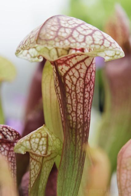 Sarracenia courtii x 'Adrian Slack'