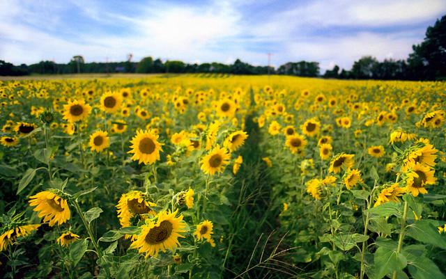 Summertime Is Sunflowers, Nikon FM2n