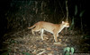 Full body photo of an African golden cat