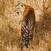 Bengal Tiger (Robert Cave)