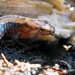 Small photo of Allegheny Mountains Dusky Salamander