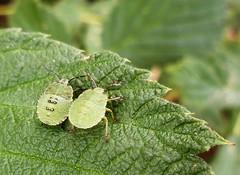 Lover's leaf