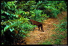 This is the one of three of the first handheld photographs taken of a wild, living African golden cat in 2003 by Panthera Lion Program Survey Coordinator, Phil Henschel.   Camera traps set by Phil took the first known image of a wild, living African golden cat in 2002.   Recently, cameras set by Panthera Kaplan scholar Laila Bahaa-el-din in Gabon filmed the first video footage of a wild African golden cat. See the first video footage of a wild African golden cat and get more information about this elusive wild cat at bit.ly/pNCOoz.