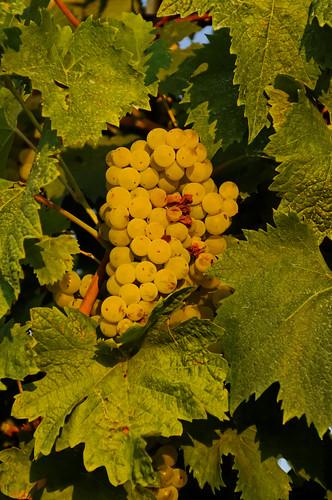 grappe de Verdicchio (Marche -Italie)
