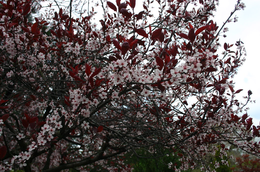 purple-leaved sand cherry, Prunus x cistena, Rosaceae