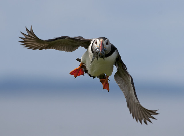 Flying Puffin with Catch