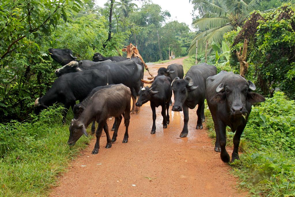 Raja Maha Vihara Western Province Sri Lanka Tripcarta