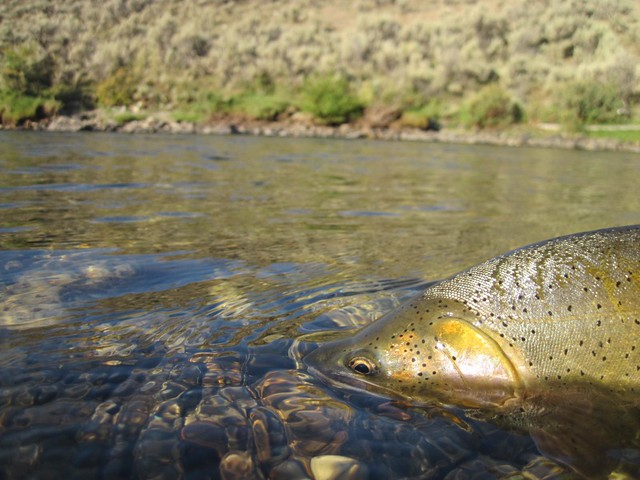 Labor day report from idaho s lost river valley the for East fork lake fishing report