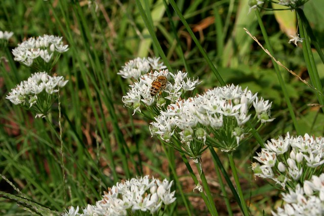 Late Summer Snack : Bees and Garlic Chives