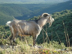 animal, mammal, barbary sheep, goats, domestic goat, fauna, mountain goat, meadow, pasture, rural area, wildlife,
