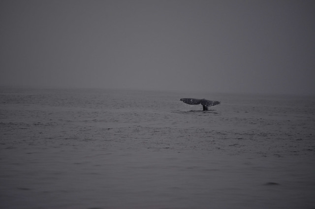 A California grey whale showing its tail, tofino, bc