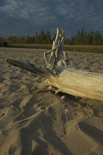 Image of Hanlans Point Beach (Clothing Optional). wood toronto beach cntower driftwood