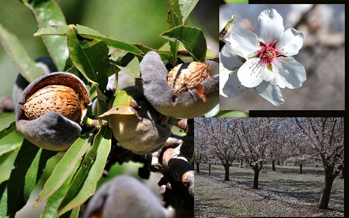 California Almond Harvest 2011 ~ Butte County