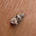 Small photo of Celypha lacunana. Tortricidae