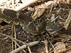 "<a href=""http://www.flickr.com/photos/livenature/6047648063/"">Photo of Crotalus oreganus by Franco Folini</a>"