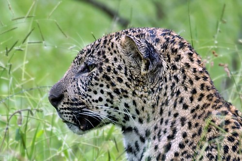 Young leopard in rain