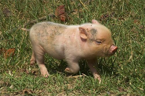 Here piggy piggy piggy!
