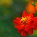 Orange Cosmos by Giovanni88Ant