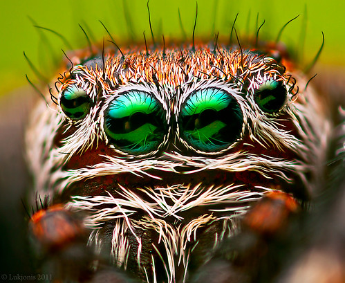 Male jumping spider - Evarcha arcuata portrait
