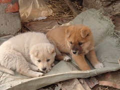 dog breed, animal, akita inu, chow chow, dog, eurasier, shiba inu, pet, street dog, greenland dog, finnish spitz, korean jindo dog, carnivoran,