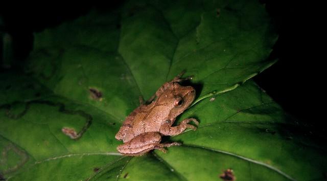 Peeper on leaf 3