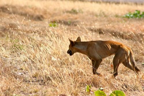 澳洲野犬維持袋鼠和狐狸等動物的數量穩定,保護土地上的植被和小型原生動物。(圖:woulfe)