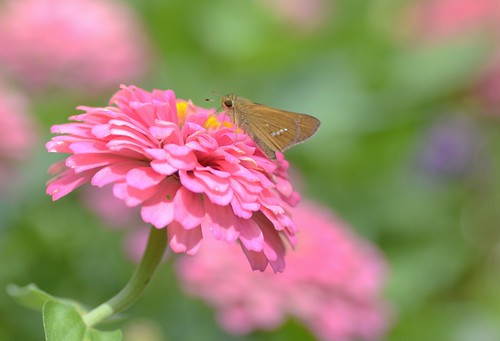 skipper and zinnia