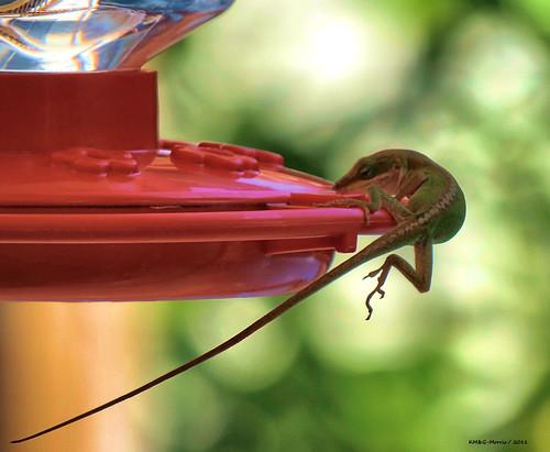 Anole Raids A Hummingbird Feeder Anole Annals