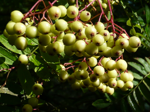 Sorbus berries on mountain ash