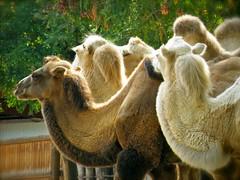 Cluster of Camels