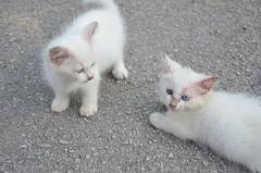 pet(0.0), birman(0.0), domestic short-haired cat(0.0), domestic long-haired cat(1.0), animal(1.0), turkish van(1.0), kitten(1.0), napoleon cat(1.0), british semi-longhair(1.0), khao manee(1.0), small to medium-sized cats(1.0), burmilla(1.0), turkish angora(1.0), ragdoll(1.0), cat(1.0), carnivoran(1.0), whiskers(1.0),