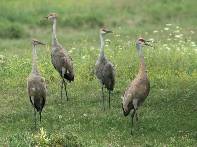 Sandhill Cranes 20110903