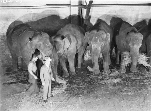 Wirths' Circus elephants, Royal Easter Show, Sydney, before 1940 / photographer Sam Hood
