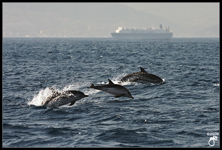 Striped Dolphins I